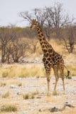 Giraffa fotografia stock libera da diritti