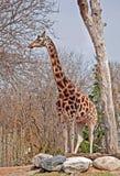 Giraffa Fotografia Stock