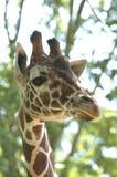 Giraffa # 2 Fotografia Stock Libera da Diritti