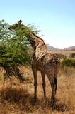 Giraffa 2 fotografia stock libera da diritti