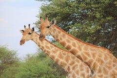 Giraffa - 2 colli sono migliori di uno Fotografie Stock