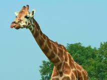 Giraffa Fotografie Stock Libere da Diritti