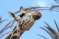 Giraffa Immagini Stock Libere da Diritti