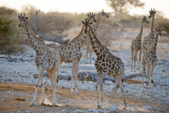Giraffa Fotografie Stock