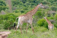 Giraffa adulta e vitello fotografati a Tala Private Game Reserve vicino a Pietermaritzburg in Kwazulu Natal, Sudafrica immagine stock