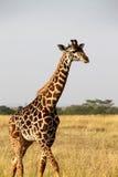 Giraffa in Africa Fotografia Stock Libera da Diritti