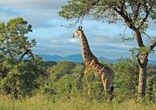 Giraffa in Africa Immagini Stock Libere da Diritti
