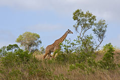 Giraffa africana Fotografie Stock Libere da Diritti