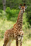 Giraffa africana fotografia stock