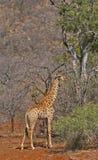 Giraffa africana Fotografie Stock
