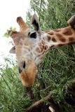 Giraffa africana (camelopardalis del Giraffa). Immagine Stock Libera da Diritti