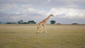 Giraffa africana che cammina nella savanna dove molti animali Graze In The Distance archivi video