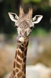 Giraffa africana che lecca radiatore anteriore con la linguetta Fotografie Stock