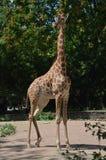 Giraffa africana nello zoo di Dresda Germania fotografia stock libera da diritti