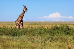 Giraffa africana in savanna Fotografia Stock