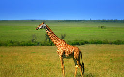 Giraffa africana selvaggia Immagine Stock Libera da Diritti