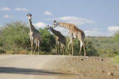 Giraffa africana selvaggia Immagini Stock Libere da Diritti