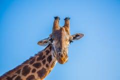 Giraffa africano Imagen de archivo libre de regalías