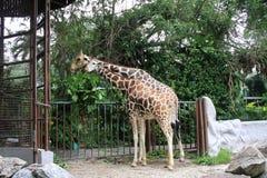 Giraffa al negara Malesia dello zoo Fotografia Stock Libera da Diritti