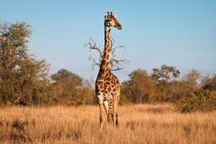 Giraffa alata Immagine Stock