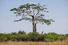 Giraffa all'ombra di un baobab al parco nazionale di Kissama Fotografia Stock