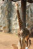 Giraffa allo zoo immagine stock libera da diritti