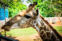 Giraffa allo zoo esotico eccezionale in Tailandia Fotografie Stock