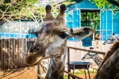 Giraffa allo zoo esotico eccezionale in Tailandia Immagini Stock