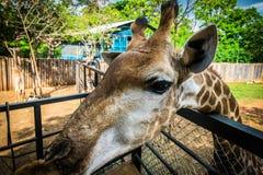 Giraffa allo zoo esotico eccezionale in Tailandia Immagini Stock Libere da Diritti