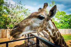 Giraffa allo zoo esotico eccezionale in Tailandia Fotografie Stock Libere da Diritti
