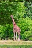 Giraffa alta Immagini Stock