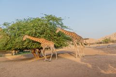 Giraffa alta del bello animale selvatico in Al Ain Zoo Safari Park, Emirati Arabi Uniti immagini stock libere da diritti