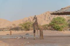 Giraffa alta del bello animale selvatico in Al Ain Zoo Safari Park, Emirati Arabi Uniti fotografia stock