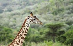 Giraffa alta del collo Immagini Stock