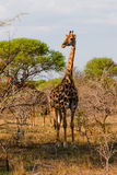 Giraffa alta in Sudafrica immagini stock libere da diritti