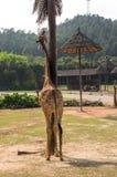 Giraffa alta vicino alla palma Fotografia Stock Libera da Diritti