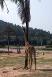 Giraffa alta vicino alla palma Fotografie Stock