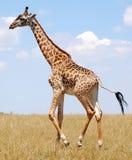 Giraffa ambulante Fotografia Stock Libera da Diritti