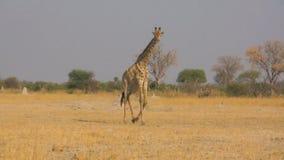 Giraffa ambulante stock footage