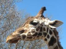 Giraffa amichevole Immagine Stock Libera da Diritti