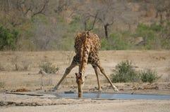 Giraffa assetata Fotografie Stock