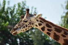 Giraffa astuta fotografia stock libera da diritti