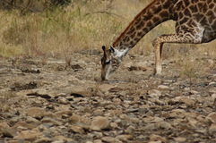 Giraffa bevente fotografie stock libere da diritti