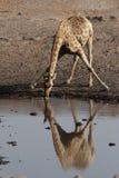 Giraffa bevente immagini stock libere da diritti