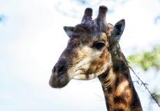 Giraffa. Big head in detail Royalty Free Stock Photos