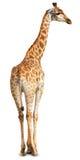 Giraffa cameleopardalis, Giraffe Royalty Free Stock Image