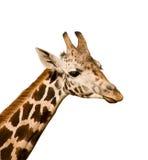 giraffa camelopardalis стоковые изображения