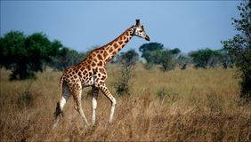 Giraffa camelopardalis. 2 Stock Photography