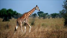 Giraffa camelopardalis. 2 Stockfotografie