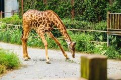 giraffa 2 camelopardalis Στοκ Φωτογραφία